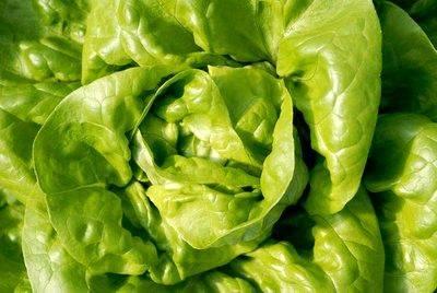 Zelena salata u ishrani