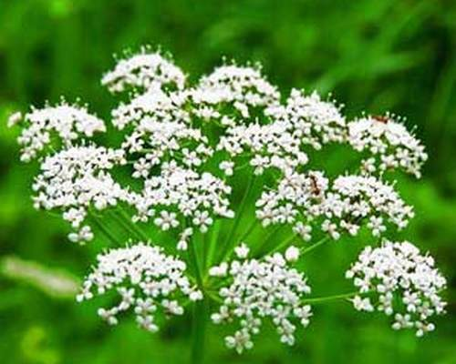 Anason biljka kao lek