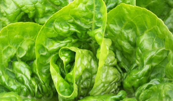 Salata protiv kašlja